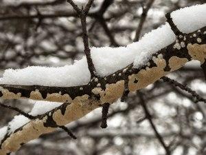 snowy fungus
