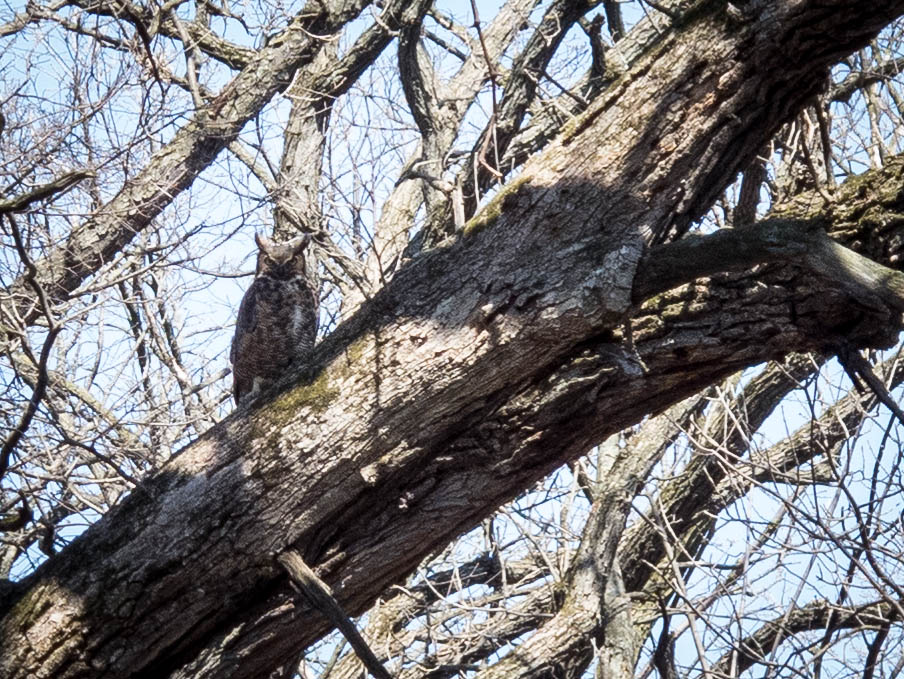 Great Horned Owl in Bemis Woods